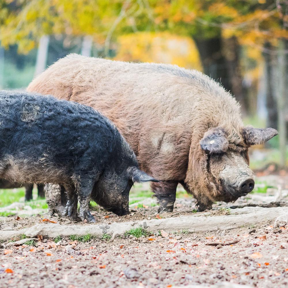 alte-schweinerassen-box-spezialitaeten